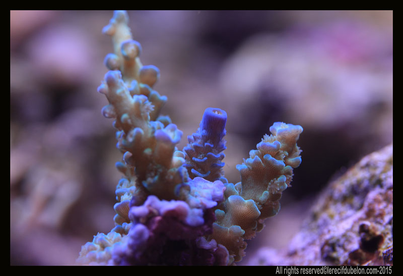 le recif du belon  Acropora-tenuis
