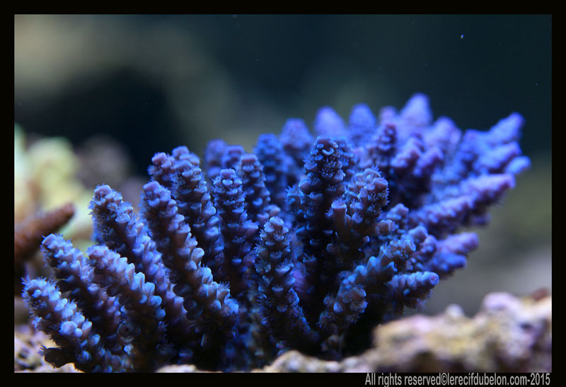 le recif du belon  Acropora-ultra-daustralie