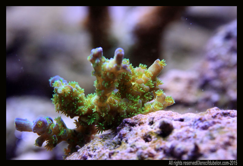 le recif du belon  Acropora-tenuis-ultra